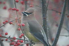 Surprise Visitor (eyriel) Tags: bird macro bokeh bush berry berries nature wildlife