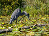 Itchy the Heron (Warp Factor) Tags: burnaby deerlake heron olympustough summer2017 kayak kayaking pointshoot water