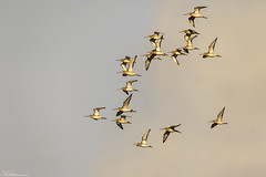 Black-Tailed Godwits (Steve (Hooky) Waddingham) Tags: stevenwaddinghamphotography bird british flight countryside coast nature wild wildlife wader