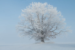 Frosty Tree in morning light and fog (NicoleW0000) Tags: tree hoarfrost frost fog morning winter snow cold outdoor nature photography ontario canada ethereal