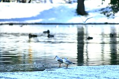 Buttes Chaumont (fabhuleux) Tags: parc neige 1d canon france paris butteschaumont glace nature oiseaux