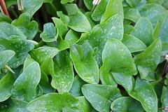 Arisarum vulgare O.Targ.Tozz. - Kew Gardens (Ruud de Block) Tags: kewgardens royalbotanicgardens ruuddeblock araceae arisarumvulgare arisarum vulgare