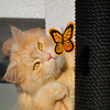 Catching butterflies (FocusPocus Photography) Tags: linus katze kater cat chat gato tier animal haustier pet schmetterling butterfly spielzeug toy
