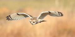 SEO 120218 1S9A6826 copy (saundersfay) Tags: shortearedowl flying green eyes feathers hares kestrel