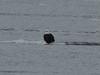 IMG_3096crop (neatnessdotcom) Tags: bald eagles hudson river bay winter birds prey peekskill ny westchester new york canon ef 100400mm f4556l is usm telephoto zoom lens eos rebel t2i 550d