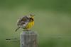 Western Meadowlark DSC_6173 (Ron Kube Photography) Tags: bird birds meadowlark nature fauna ornithology alberta canada westernmeadowlark southernalberta nikon nikond500 d500 ronaldok sturnellaneglecta globalbirdtrekkers ronkubephotography
