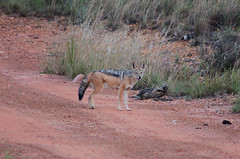 South Africa day 4 (s11_8) Tags: southafrica entebeni entabeni nature wildlife gamereserve gamedrive jackal