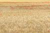 Dans les champs (Catherine Reznitchenko) Tags: field red flowers poppy outdoors yellow france seinemaritime champ fleurs coquelicot extérieur jaune paysage landscape europe nature corn blé minimalism minimalisme duclair 76