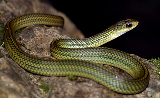 Big-eyed Rat Snake (Zaocys [Ptyas] dhumnades)