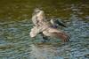 Coming or going? (ChicagoBob46) Tags: brownpelican pelican bird florida jndingdarlingnwr sanibel sanibelisland nature wildlife coth5 ngc npc