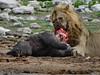 Giving extinction a helping claw (zimpetra) Tags: namibia etosha np lion kill rhino