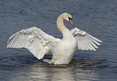 Mute Swan (Mawrter) Tags: muteswan swan elegance white wing wings flap wingspan water nj nature wild wildlife feathers avian bird birding animal motion action canon pointpleasantbeach lakeofthelilies newjersey specanimal
