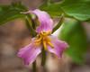 Painted Trillium (John C. House) Tags: everydaymiracles nik spring nikon d700 closeup smokies johnchouse tennessee paintedtrilllium flowers trilllium mountains