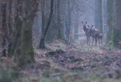 Harde sous la grisaille. (Eric Penet) Tags: animal sauvage avesnois france faune forêt femelle forest faon mammifère mormal wildlife wild nord nature janvier hiver deer doe biche locquignol cervidé