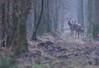 Harde sous la grisaille. (Eric Penet) Tags: animal sauvage avesnois france faune forêt femelle forest faon mammifère mormal wildlife wild nord nature janvier hiver deer doe biche locquignol cervidé