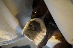 Morning Ritual (Bl.Mtns.Grandma) Tags: ddogchal boxer dog quilt