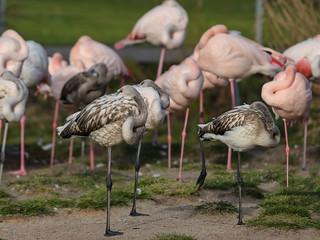 Haben sich hier wohl die Flamingos mit den Reiher verpaart? Könnte man doch schon meinen. Aber wie Regina feststellt sind es einfach noch Jünglinge.