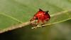 Horned Leaf-rolling Weevil (Lamprolabus bihastatus, Attelabidae) (John Horstman (itchydogimages, SINOBUG)) Tags: insect macro china yunnan itchydogimages sinobug entomology canon beetle weevil coleoptera attelabidae leafrolling red topf25 tweet topf50 fb tumblr top