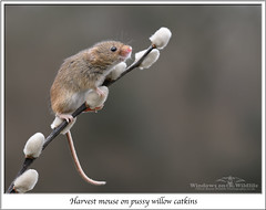 Harvest mouse (deanmasonwp) Tags: wildlife nature animal mammal harvest mouse pussy willow catkins dean mason windows dorset nikon winter mice rodent small tiny cute