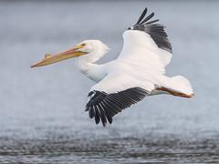 Slow Descent (pandatub) Tags: ebparks ebparksok bird birds pelican americanwhitepelican shadowcliffs