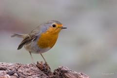 Robin (Jongejan) Tags: robin roodborst bird nature wildlife outdoor wood tree netherlands