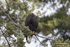 "Bald Eagle (adult) (4959) (Anthony ""Tony G"" Gliozzo (Web Site is ocbirds.com)) Tags: anthonygliozzo barnumpoint camanoislandwashington canon100400isiilusm canon7dmarkii camanoisland washington unitedstates us"
