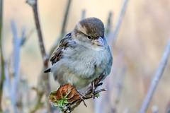 cutie pie sparrow (Paul Wrights Reserved) Tags: sparrow bird birding birds birdphotography birdwatching perched perching closeup bokeh canon 80d