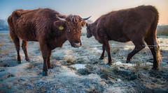 Empel - Kanaalpark - Rode Geus 3398 (Ingeborg Ruyken) Tags: dropbox rodegeus februari sunrise winter morgen frost february flickr cow kanaalpark morning koe empel 500pxs natuurfotografie ochtend zonsopkomst dawn vorst