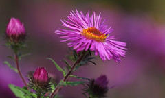 Autumn Greetings (AnyMotion) Tags: aster blossom blüte bud knospe petals bokeh 2017 floral flowers botanischergarten frankfurt plants anymotion colours colors farben pink rosa 7d2 canoneos7dmarkii autumn fall herbst automne otoño ngc npc