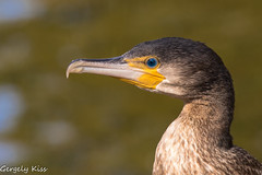 Young cormorant portrait. (Gergely_Kiss) Tags: waterbird bird birdportrait cormorant kormoran