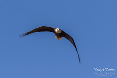 Bald Eagle approach and landing - 2 of 27