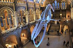 Hintze Hall - Natural History Museum London England UK (ofwaiting) Tags: hintze hall london natural history museum england united kingdom uk blue whale skeleton
