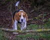 Beagle in the undergrowrh (Frank Shepherd) Tags: hound eos canon70d canon animal pet dog beagle