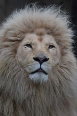 Credo @ Ouwehands Dierenpark 15-04-2017 (Maxime de Boer) Tags: credo african white lion afrikaanse witte leeuw big cats katachtigen ouwehands dierenpark ouwehand zoo rhenen animals dieren dierentuin gods creation schepping creator schepper