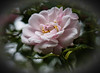Soft and delicate!! (Good Nature One) Tags: softanddelicate flower macro nature bloom rose pastel pink yellow white green
