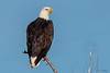 Regal Bald Eagle (MelRoseJ) Tags: dorris california unitedstates us a77ii alpha autofocus sonyalpha sony sonyilca77m2 sal70200g lowerklamath nature birds baldeagle eagle