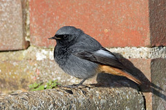 Black Redstart (NickWakeling) Tags: blackredstart sheringham canoneos7dmarkii sigma150600mmf563dgoshsmcontemporary