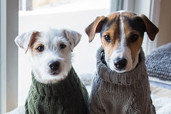 My Dapper Duo (marylea) Tags: parsonrussellterrier parsonrussell terrier terriers jackrussellterrier jackrussell dogs puppies sweaters dec27 2017 maddy dooley fromannandaaron welldresseddogs dapperdogs dog prt jrt