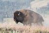 Yellowstone Bison (adbecks) Tags: bison yellowstone nikon d500 200500 wildlife ynp