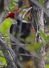 CAE008141a (jerryoldenettel) Tags: 180117 2018 dryocopus dryocopuspileatus fl leeco monocots picidae piciformes pileatedwoodpecker sixmilecypresssloughpreserve woodpecker bird