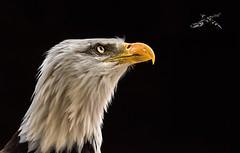 flight (jeff.white18) Tags: baldeagle birdofprey bird preditor raptor feathers beak portrait eagle eye flickr