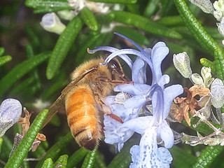 European Honey bee P1033694