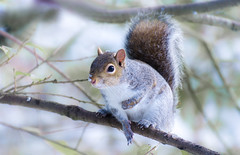 Mr S (vivax_photos) Tags: squirrel snow winter2018 grey uk funny tail wild wildlife