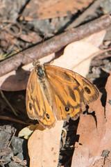 20180122-IMG_5418.jpg (tastigr) Tags: australia afternoon victoria macro wildlife macedonranges summer