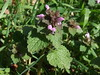 Red Dead-nettle (Philip_Goddard) Tags: southwestengland england unitedkingdom britain british britishisles greatbritain uk europe lamiumpurpureum reddeadnettle lamium labiatae lamiaceae wildflowers floweringplants angiosperms plants nature naturalhistory