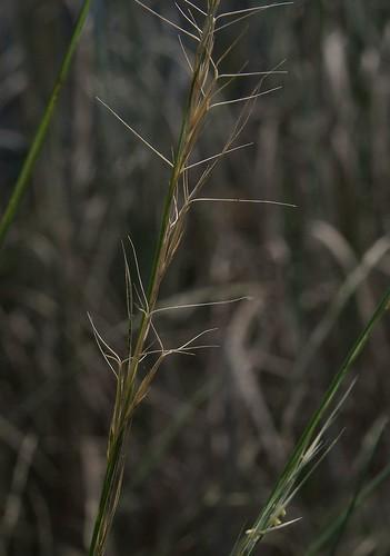 Aristida ramosa 140417-1848