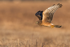 Taking Flight... (PhillymanPete) Tags: northernharrier wildlife polefarm mercermeadows nature bird harrier bif birdsofprey fly raptor birdsinflight field nikon d500