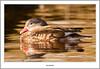 Mandarin Duck aT Balloch (flatfoot471) Tags: 2017 balloch bird duck mandarin march nature normal riverleven rural scotland spring unitedkingdom westdunbartonshire gbr