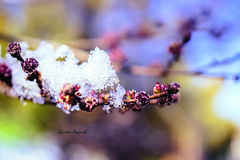 My winter (Claudia Pasquali) Tags: natura nature photo picture photograpgy photographer ice snow snowing water landscape nikon