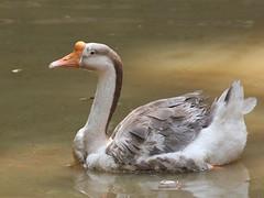 A Goose (SivamDesign) Tags: canon eos 550d rebel t2i kiss x4 300mm tele canonef300mmf4lisusm kenko pro300 caf 14x teleplus dgx bird fauna goose domestic